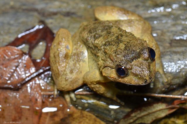 Namie's frog ( limnonectes namiyei )