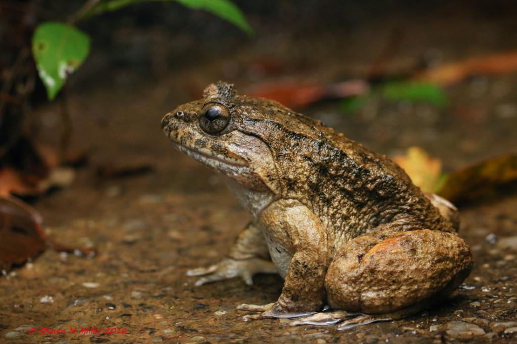 Namies frog- Stella 2000