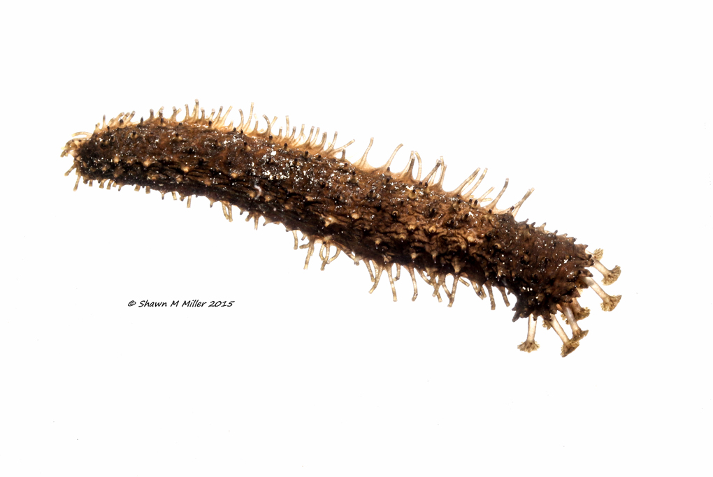 Holothuria (Platyperona) difficilis  -MYN
