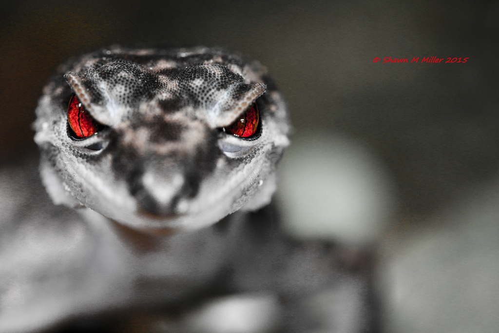Kuroiwa's ground gecko -Red list