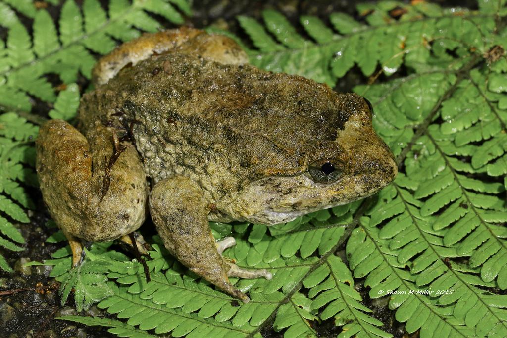 Namie's frog (Limnonectes namiyei)
