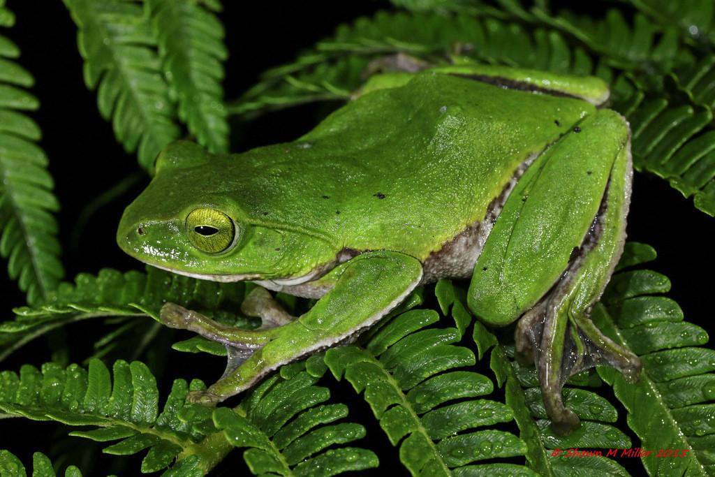 Okinawa tree frog (Rhacphhorus viridis)