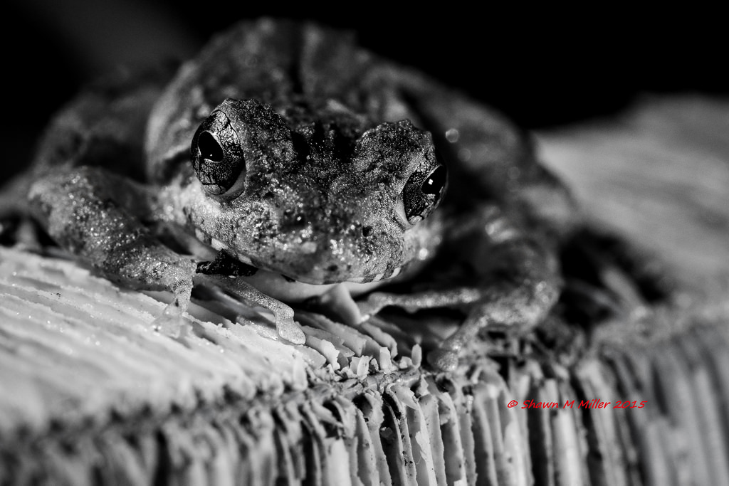 Ryukyu Kajika frog