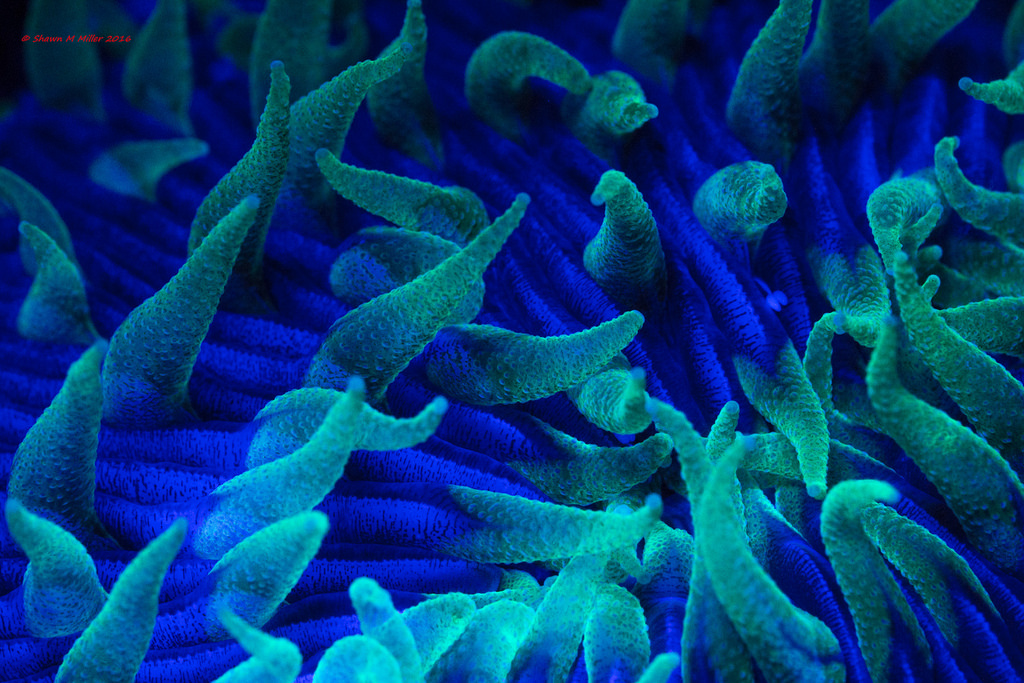 Green fire- coral polyps