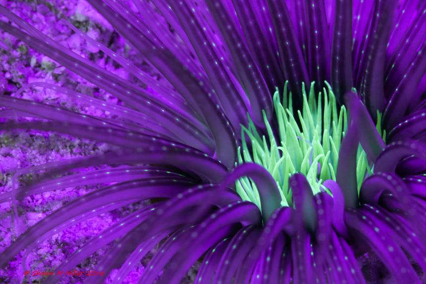 Tube anemone -