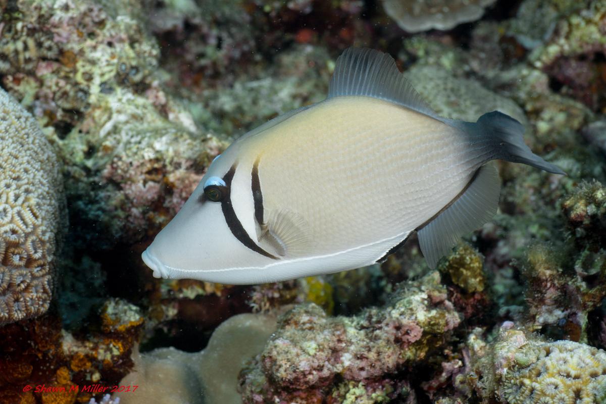 Scythe triggerfish -Laowa 60mm macro