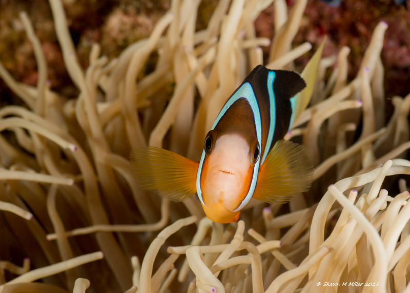 Clark's Anemonefish -