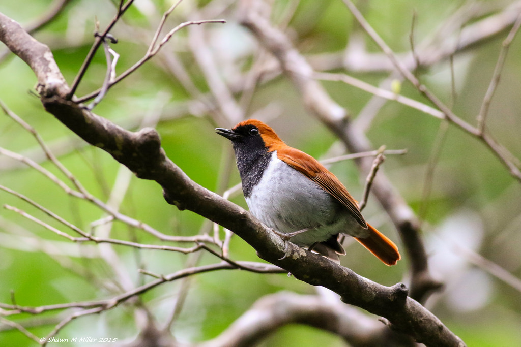 Male Ryukyu Robin