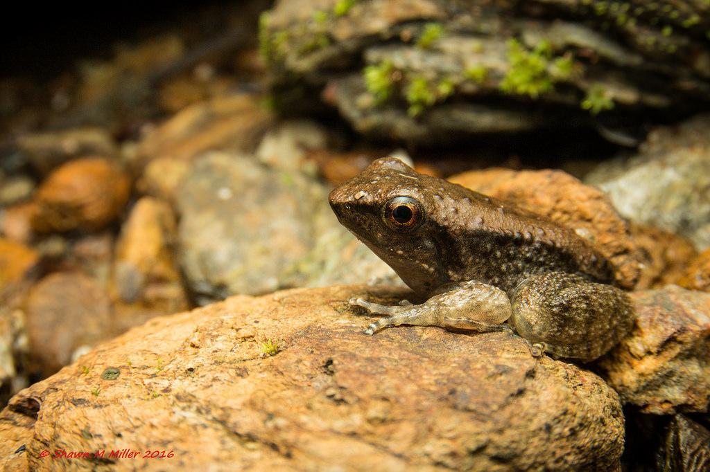 Juvenile Holst's frog