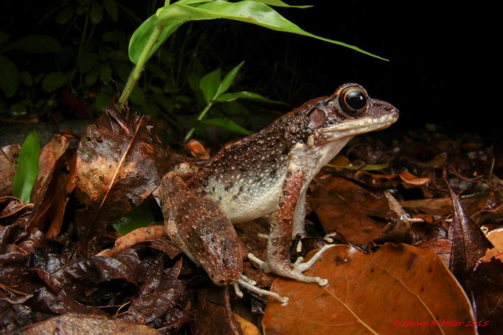 Ryukyu tip-nosed frog -wide angle macro