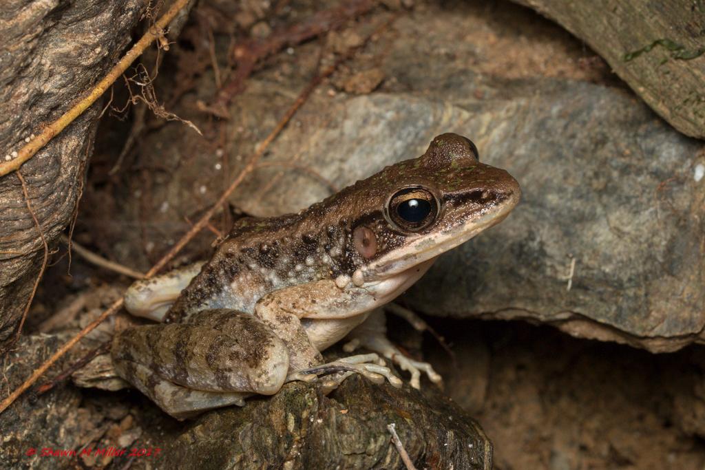 Ryukyu tip-nosed frog