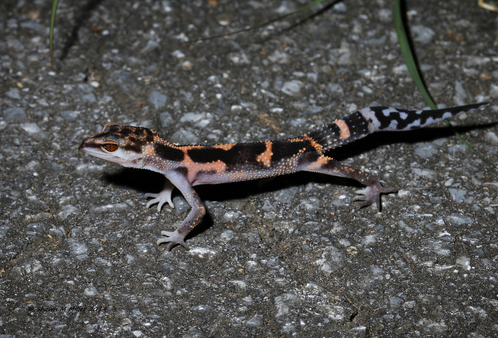 Kuroiwa's ground gecko