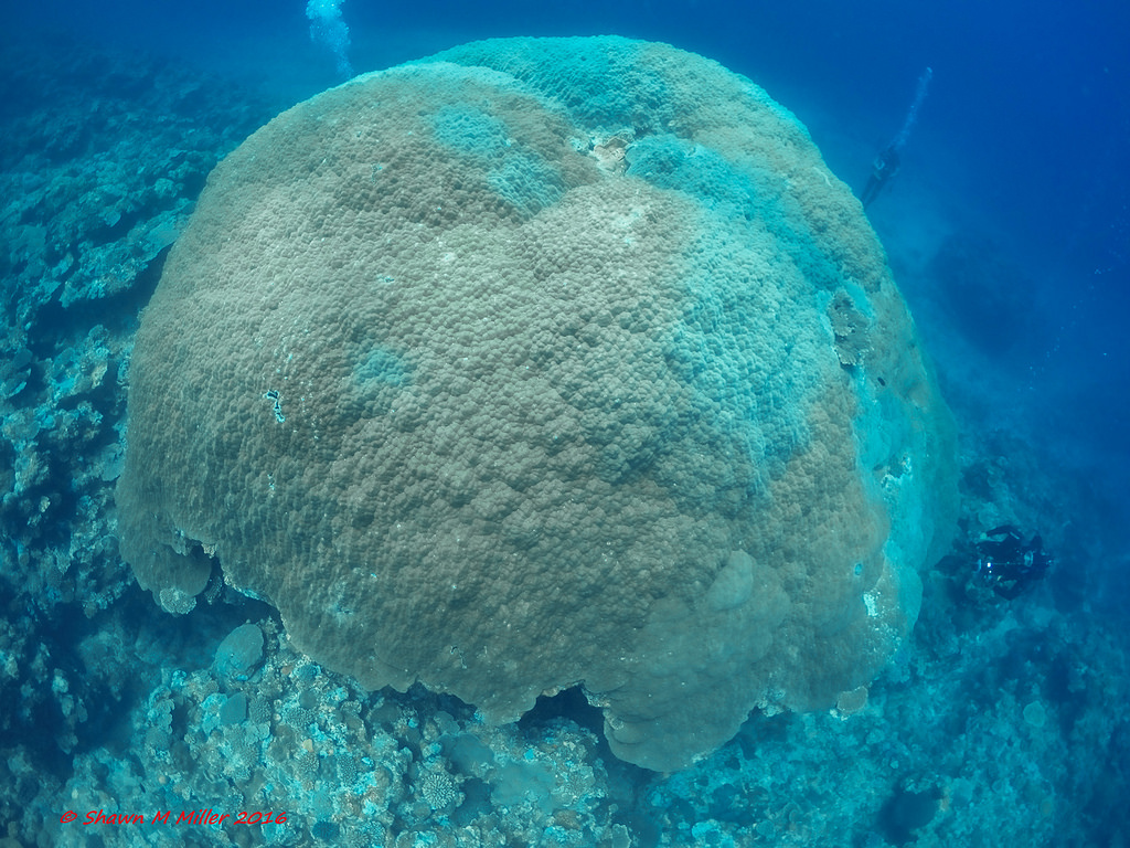 Massive Porites lutea coral