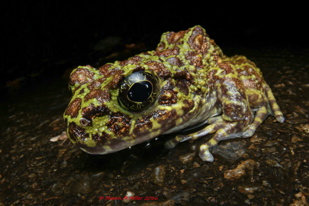 Ishikawa's frog (endangered) Stella 2000 diffused with fill flash
