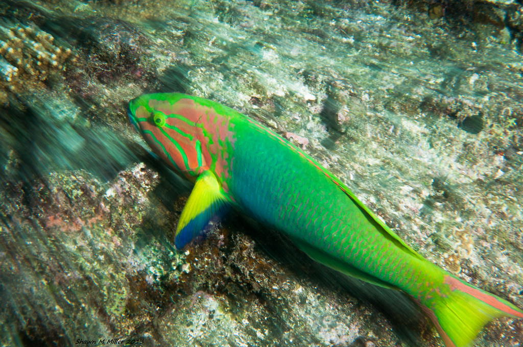 Sunset wrasse reef racing ( RSC )