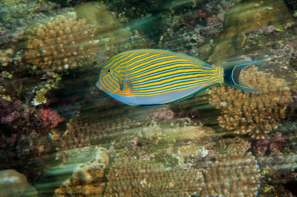 Striped surgeonfish and coral reef (RCS)