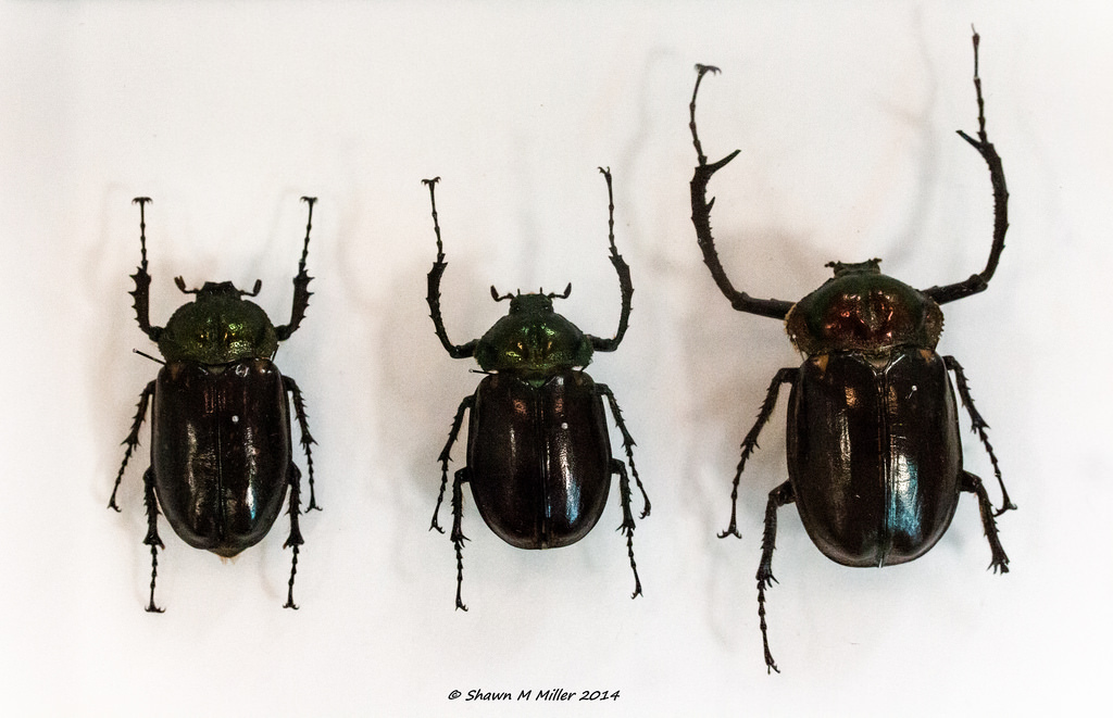 Rarest beetle in Japan -Yanbaru long-armed scarab beetle