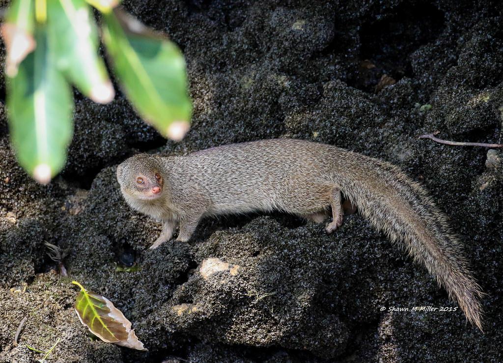 Mongoose ( Hepestes javanicus )