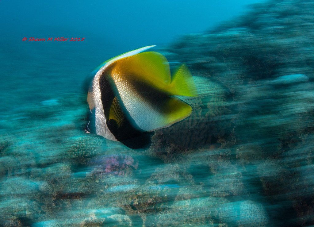 Masked bannerfish on the move ( RCS )