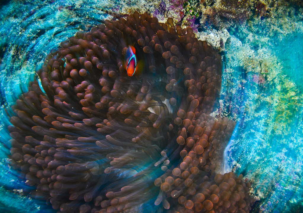 Anemone fish with a spin ( RCS )