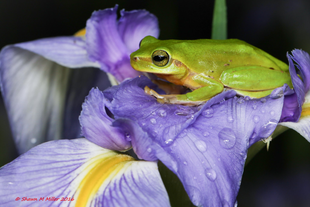 IHallowell's tree frog -Stella 2000 with fill flash