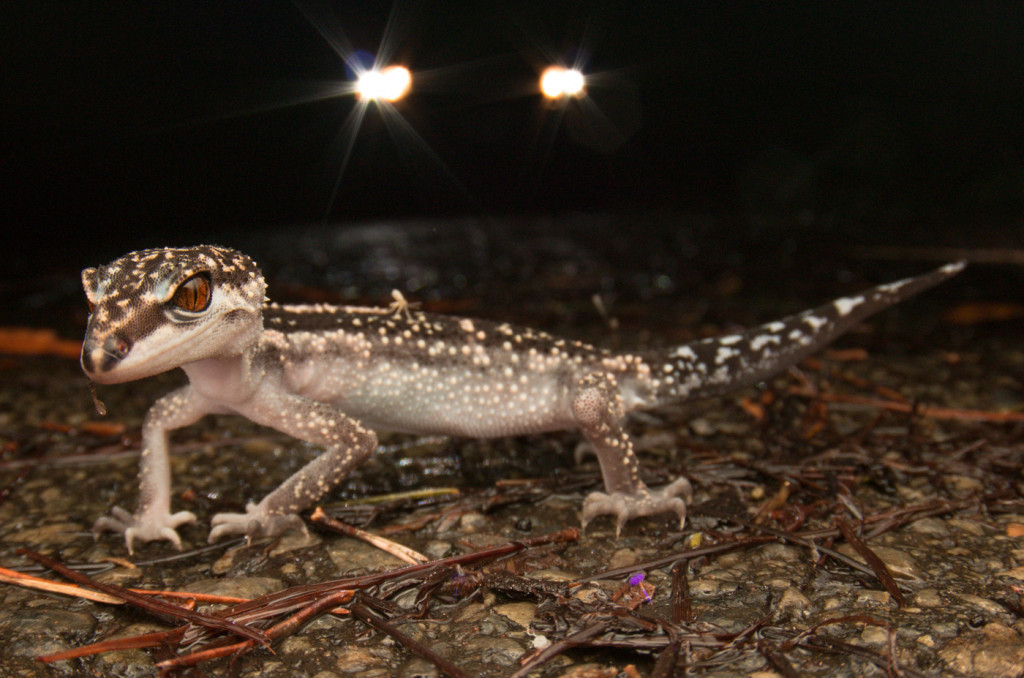 Kuroiwa's ground gecko -endangered