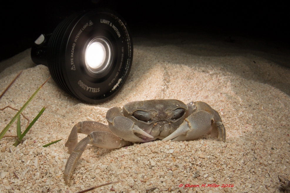 Ghost crab - Fill flash and back-lighting Stella 200