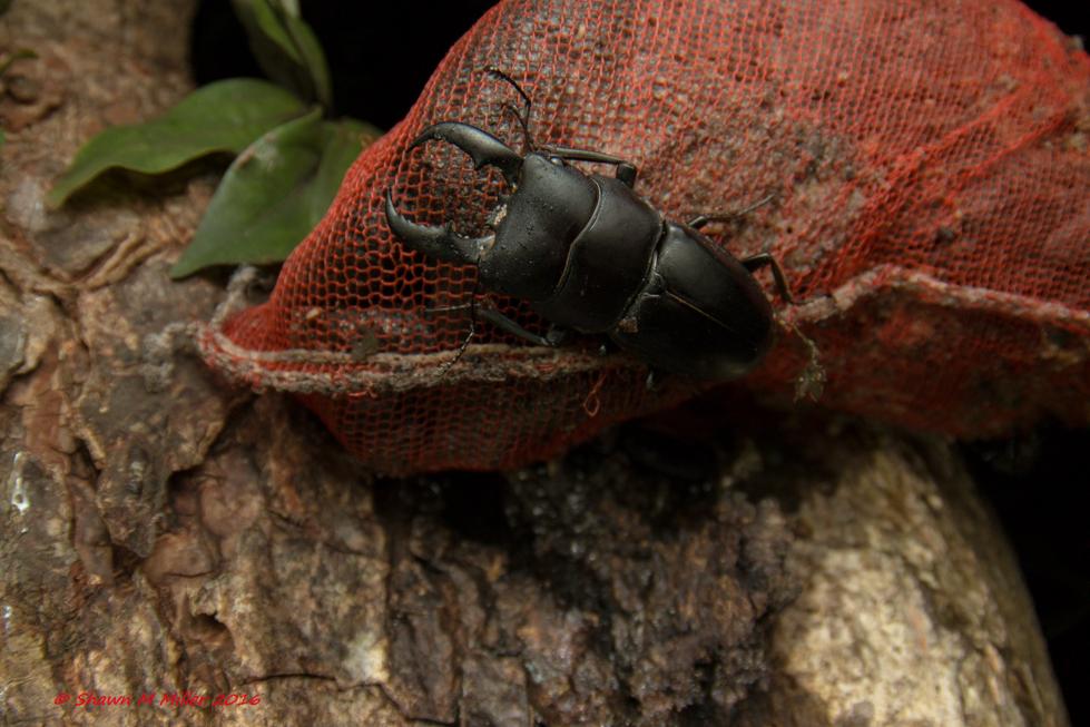 Giant stag beetle ( Dorcus titanus okinawanus )