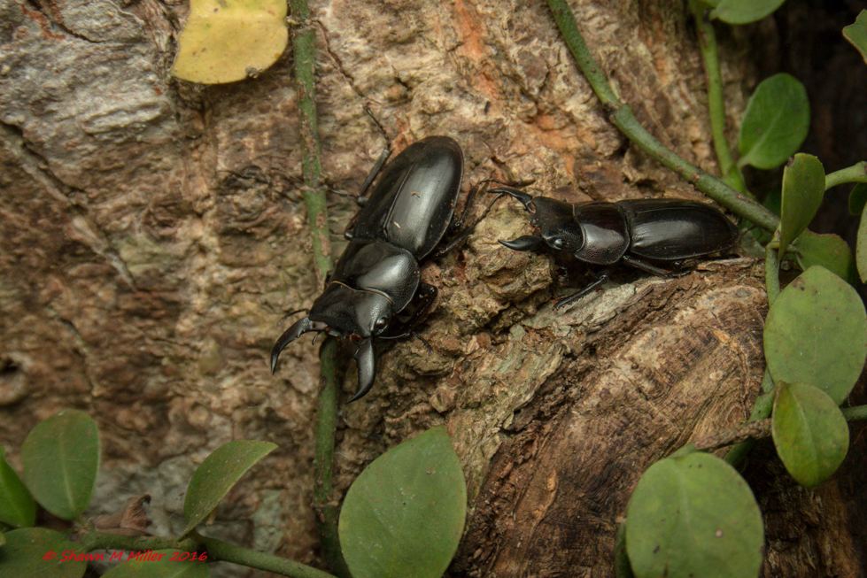 Giant okinawan stag beetles