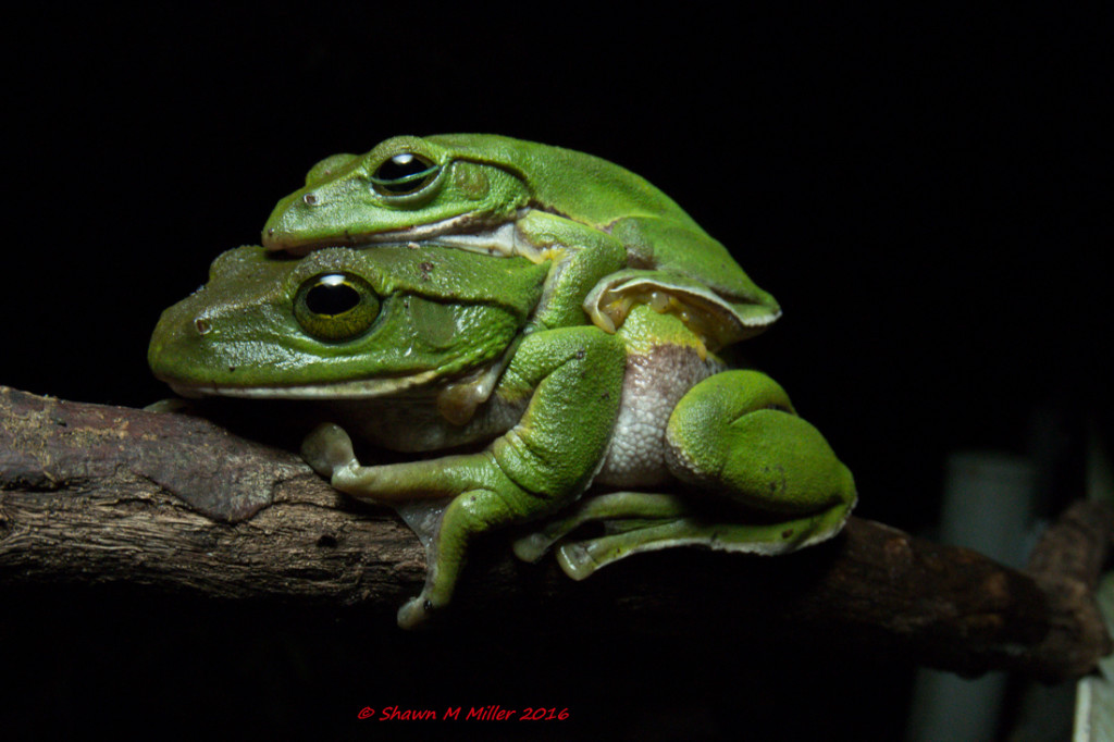 Okinawa green tree frog -Stella 2000 diffused on hotshoe