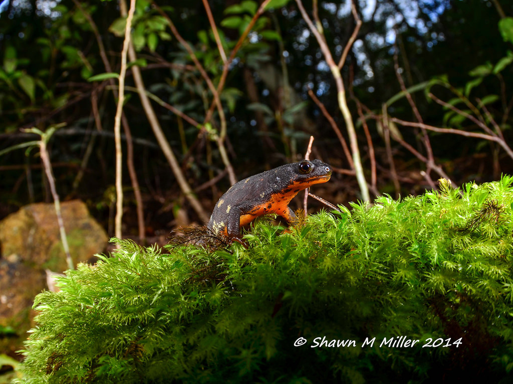 Sword-tailed newt in natural habitat