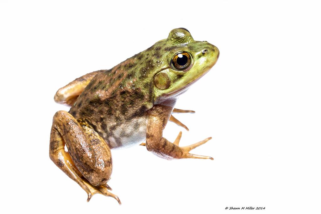American bullfrog - Izena Island