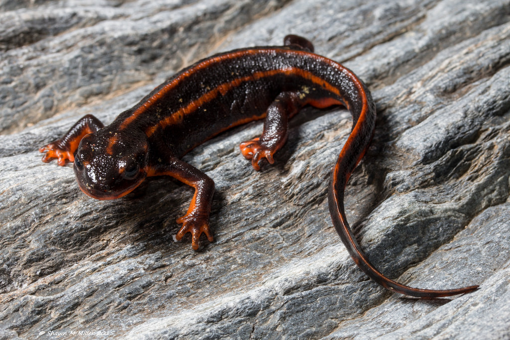 Sword tailed newt with stripes