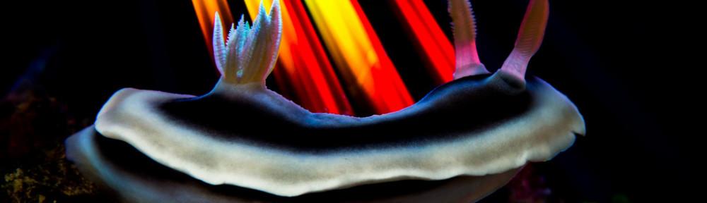 Chromodoris annae -Ryukyu flare