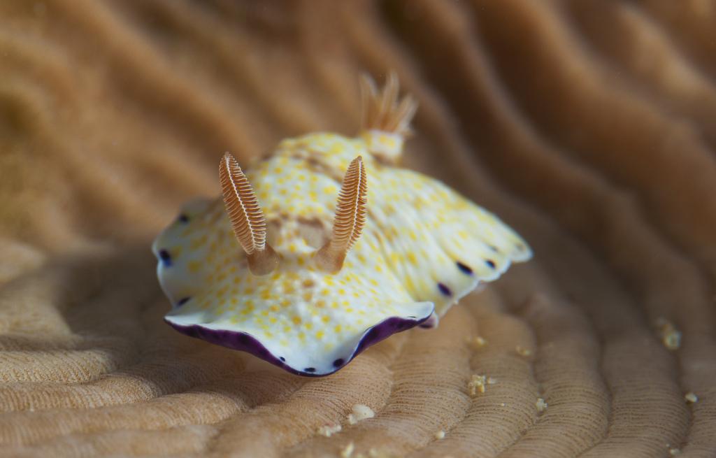 Chromodoris aureopurpurea
