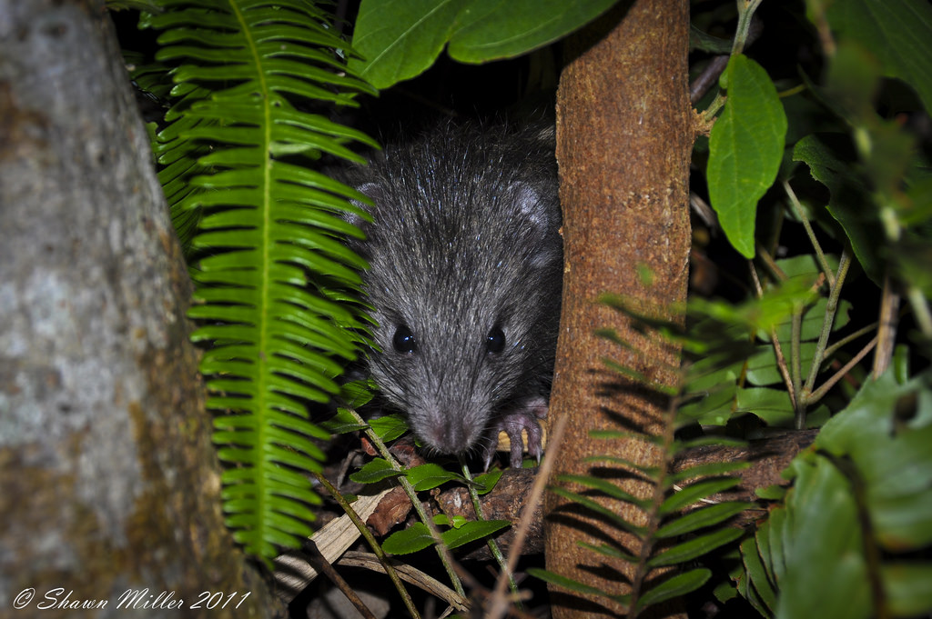 Ryukyu Long-tailed giant rat