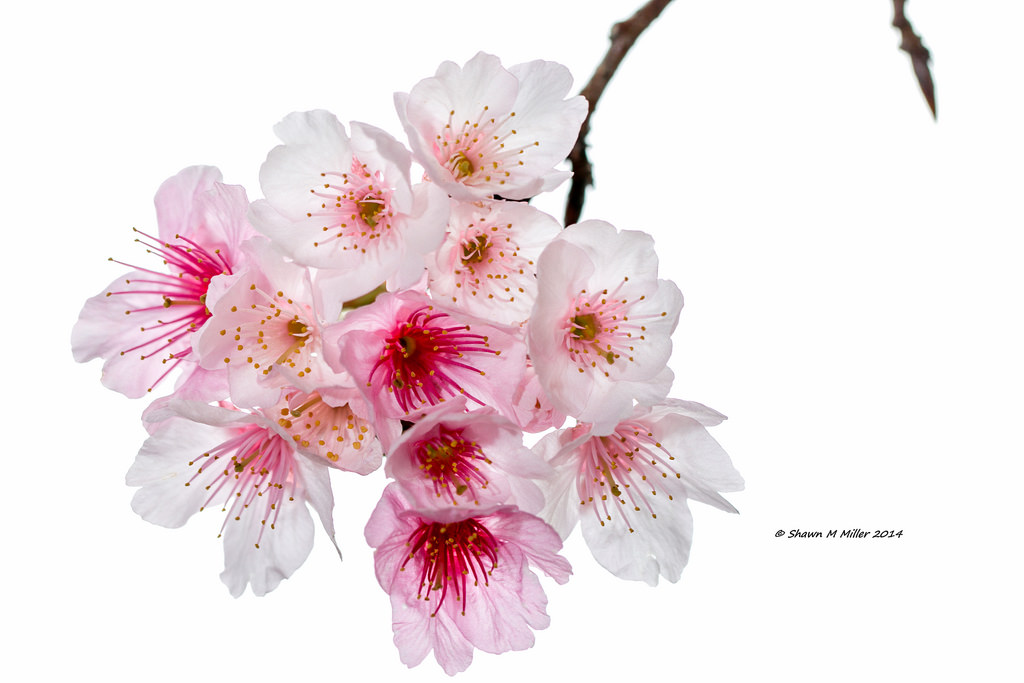 Cherry blossum under white light (MYN)