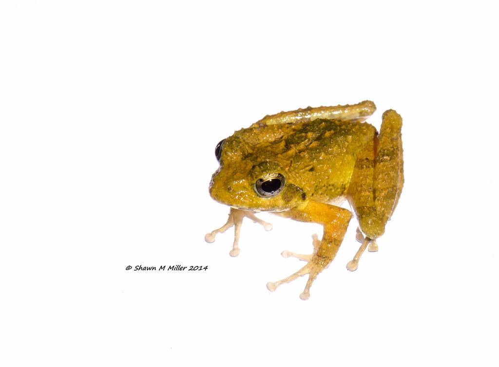 Ryukyu Kajika frog - MYN