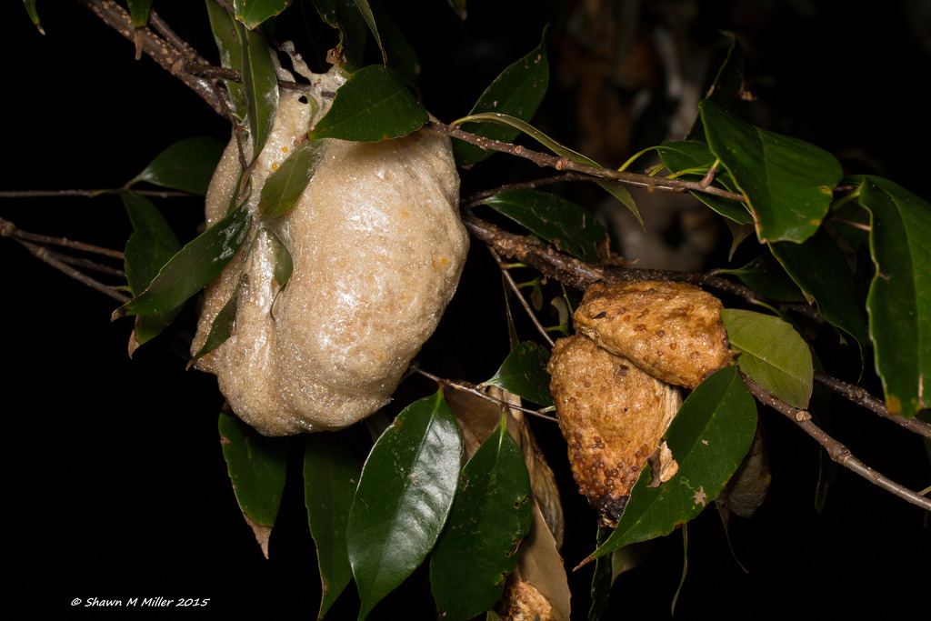 Frog foam nest