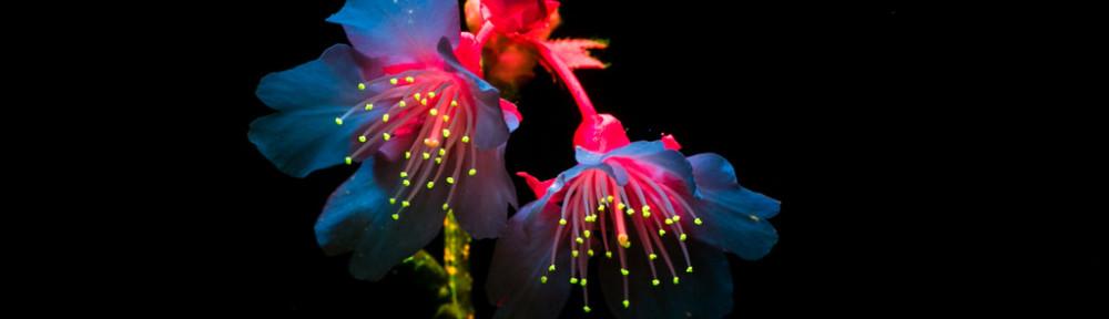 Cherry blossum under blue light