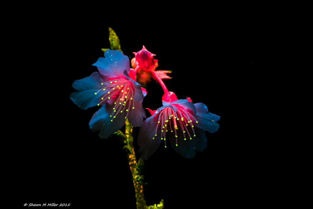 Cherry blossum under blue light