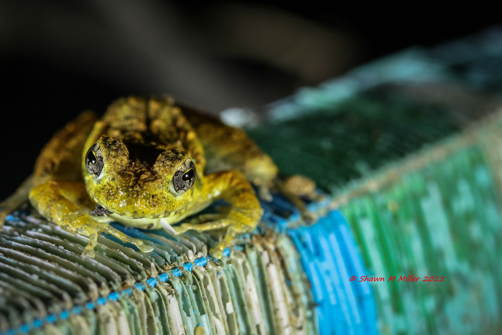 Ryukyu Kajika frog on tatami mat