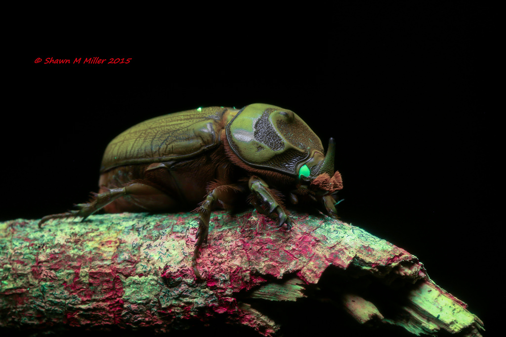 Rhinoceros coconut  beetle under blue light
