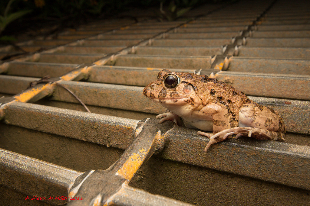 Asian marsh frog - drainage ditch