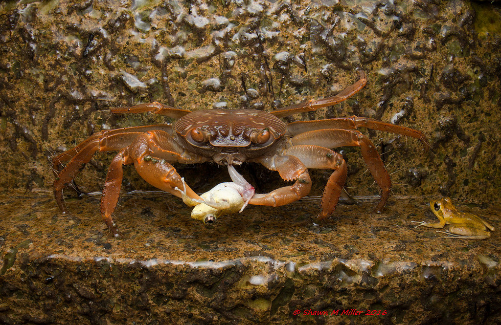 Crab feeding on frogs
