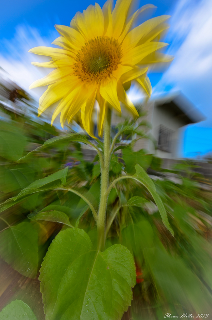Sunflower under white light -zoom panning