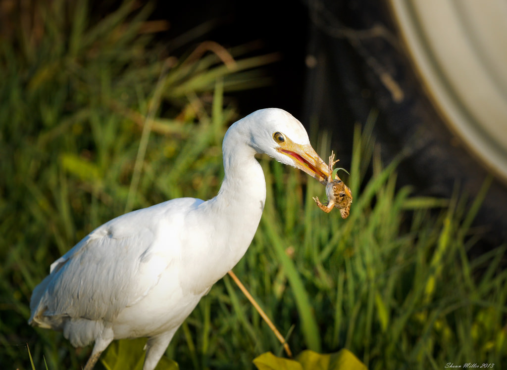 Egret feeding -the last goodbye