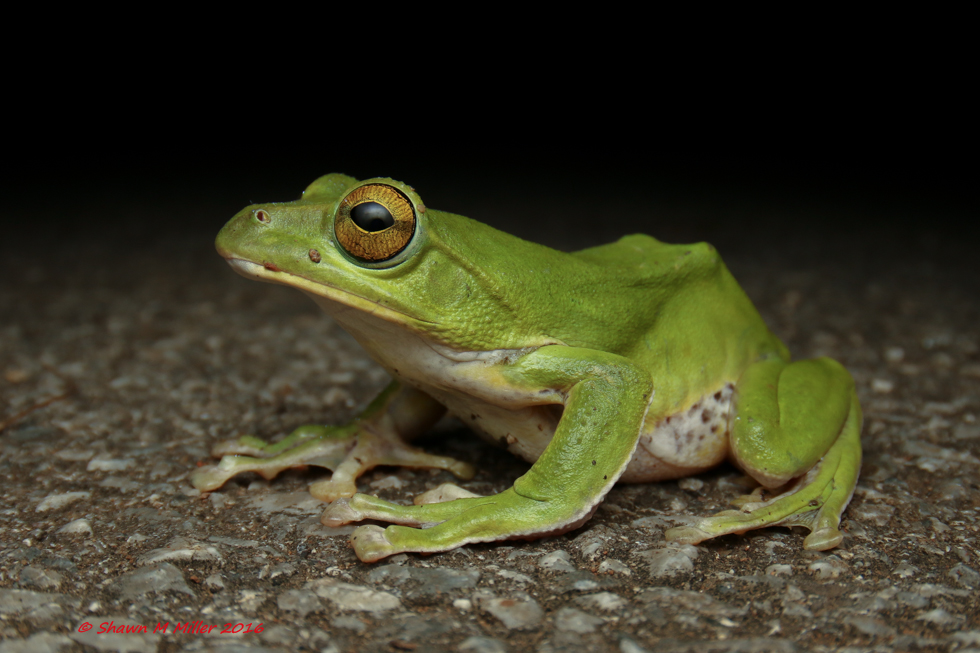 Roadside green tree frog
