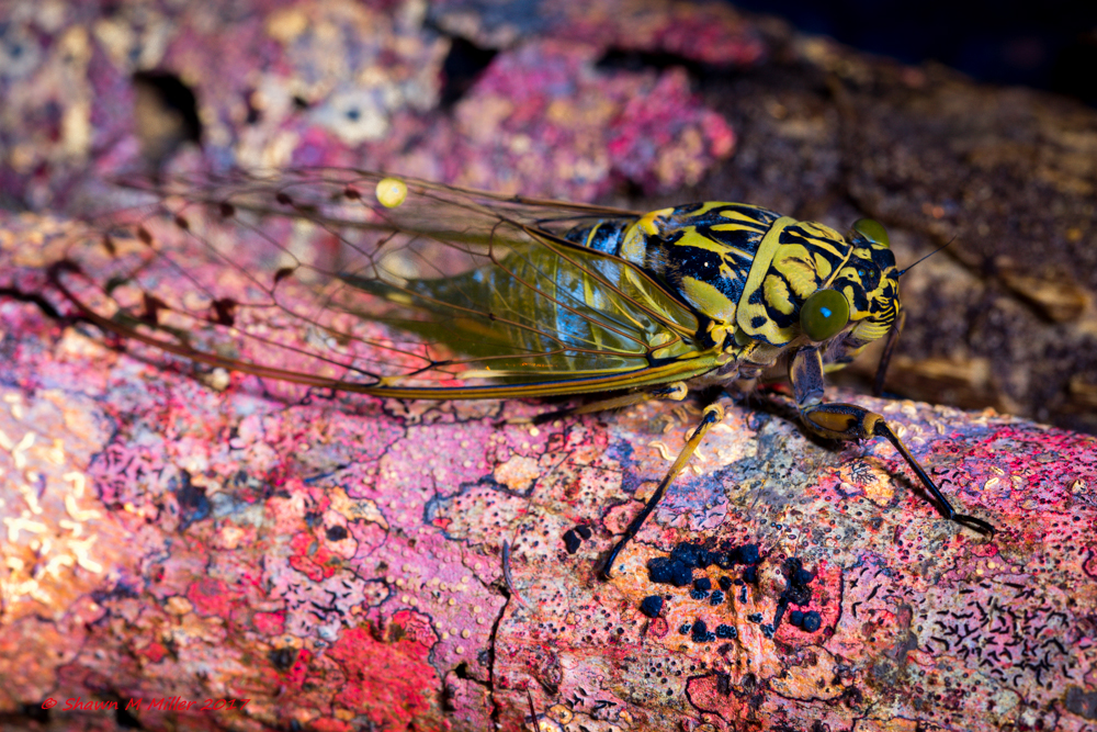 Cicada under blue light