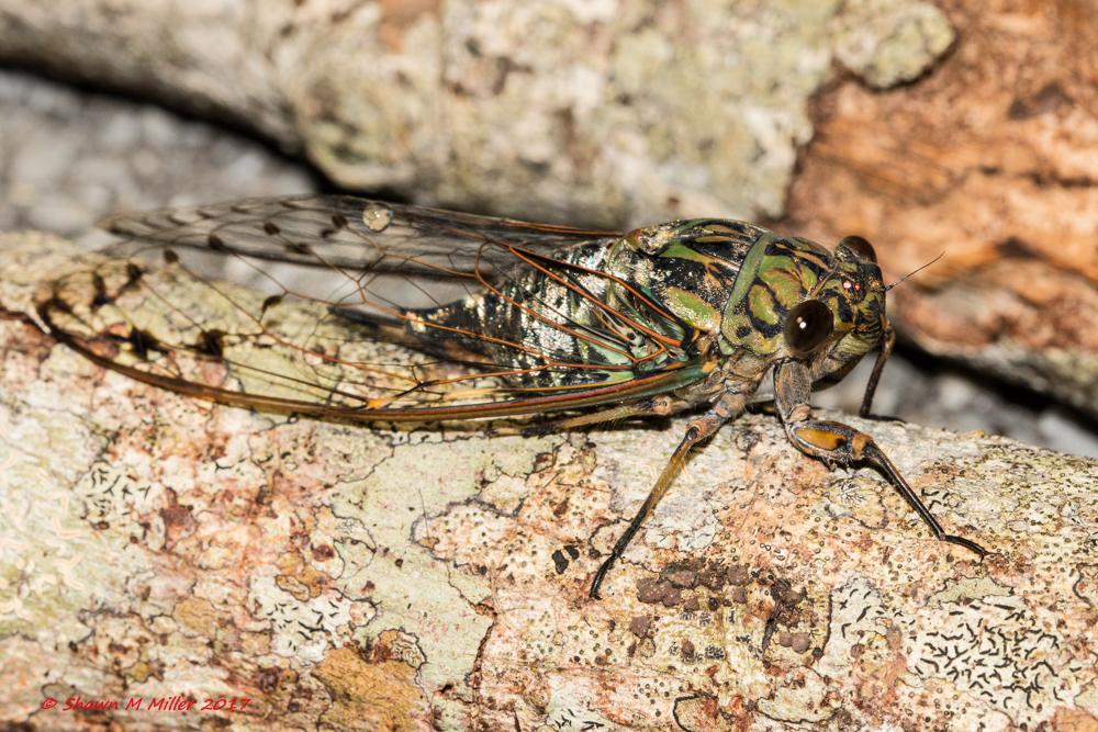 Cicada under white light